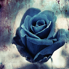 Blue Rose. Sigh of Oblivion | by Tanjica Perovic