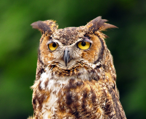 Great Horned Owl | by mybulldog