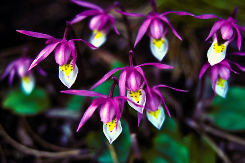 Calypso Orchids - Wildflower | by woodchuckiam