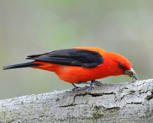 Scarlet Tanager! | by JRIDLEY1