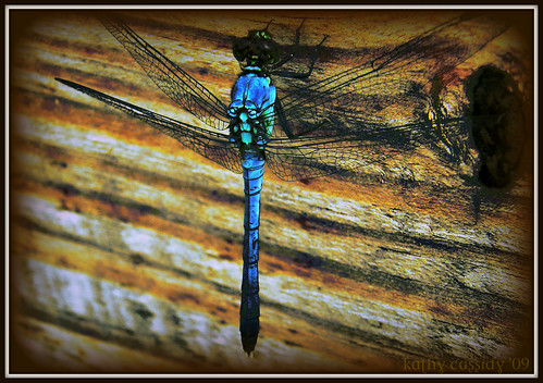 blue dragonfly2 | by kathycassidy57