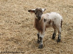 Daisy Mae's ewe lamb on 4-7-10 | by Farmgirl Susan
