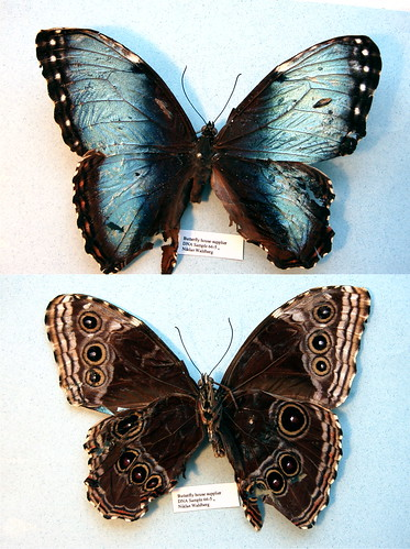 NW66-5 Morpho helenor peleides | by nymsysgro