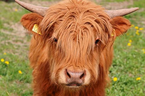 Mooooooo Portrait Of A Young Highland Bull Who Was