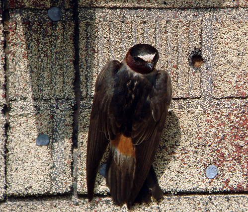 Cliff Swallow | by Laura Erickson