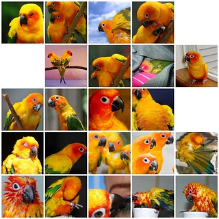 Sun Conure Mosaic....I don't even want to THINK about the noise! | by fishgirl7