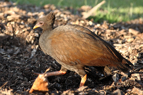 Orange-footed Scrubfowl | by dmmaus