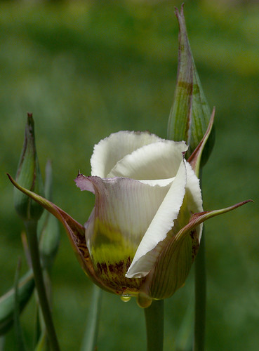 Calochortus superbus #1 | by J.G. in S.F.