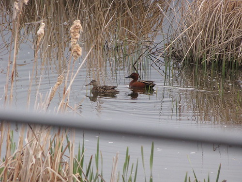 Pair of Cinnamon Teal | by USFWS Mountain Prairie