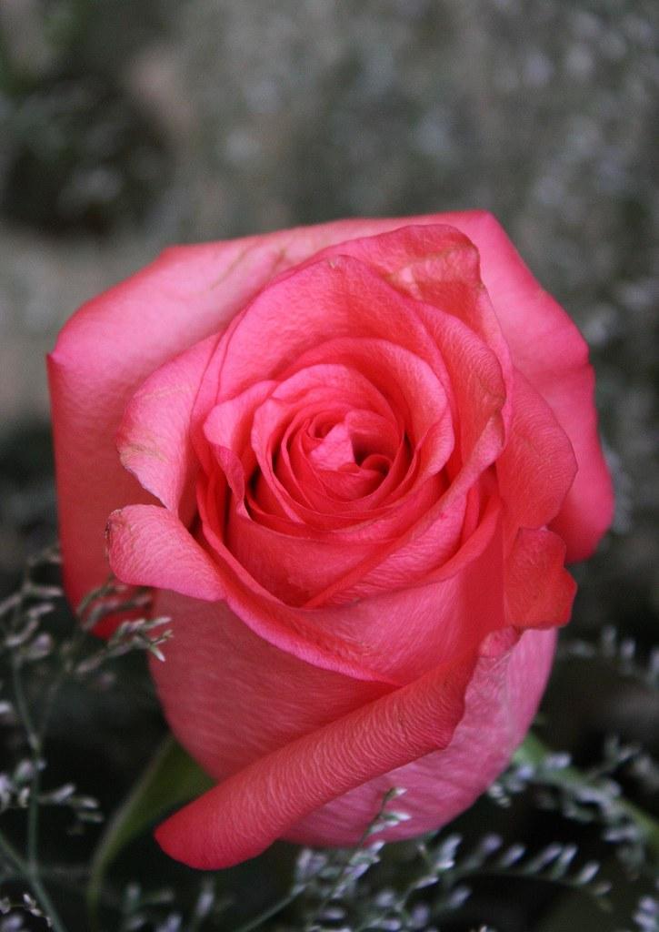 Una Rosa Para Ti Ecoronadog Flickr