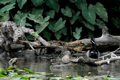 Texas wood ducks | by Larry Johnson