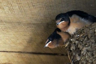 Barn Swallows | by tim mcmurdo