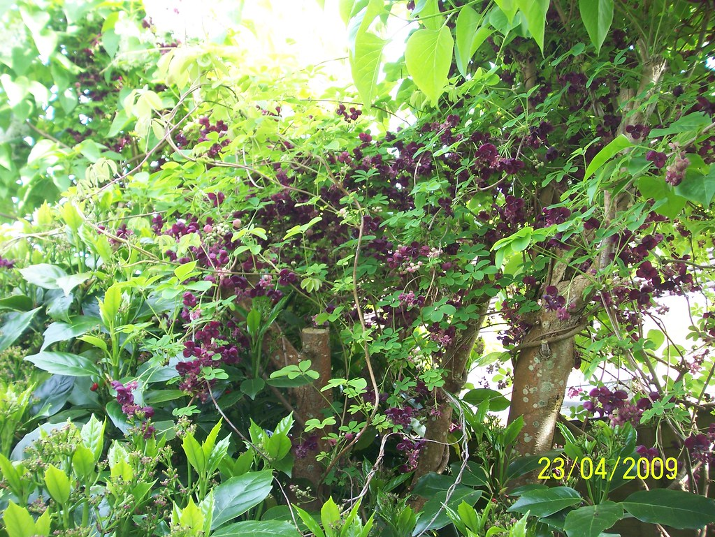 Akebia quinata chocolate vine this photo was taken in my flickr akebia quinata chocolate vine by wallygrom mightylinksfo