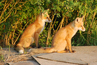 Red Fox Kits DSC_0699 | by Ron Kube Photography