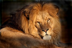 I am the king of the beasts | by Linda Cronin