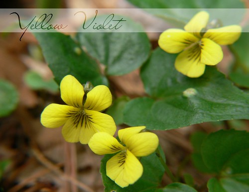Yellow Violets | by Wayfaring Wanderer