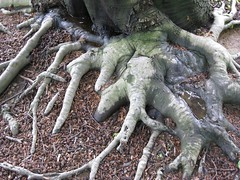copper beech roots at longwood | by boodely