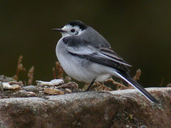 Amur Wagtail | by Frode Falkenberg