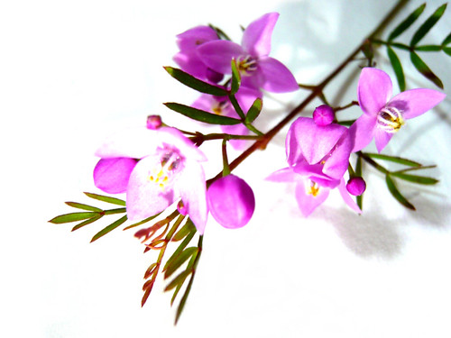 Simple Pink Flowers 2. .. ... | by ⊹⊱ayaka⊰⊹