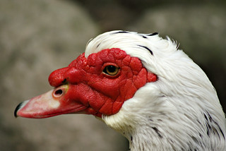 Pato | by Nuno's Photo Warehouse