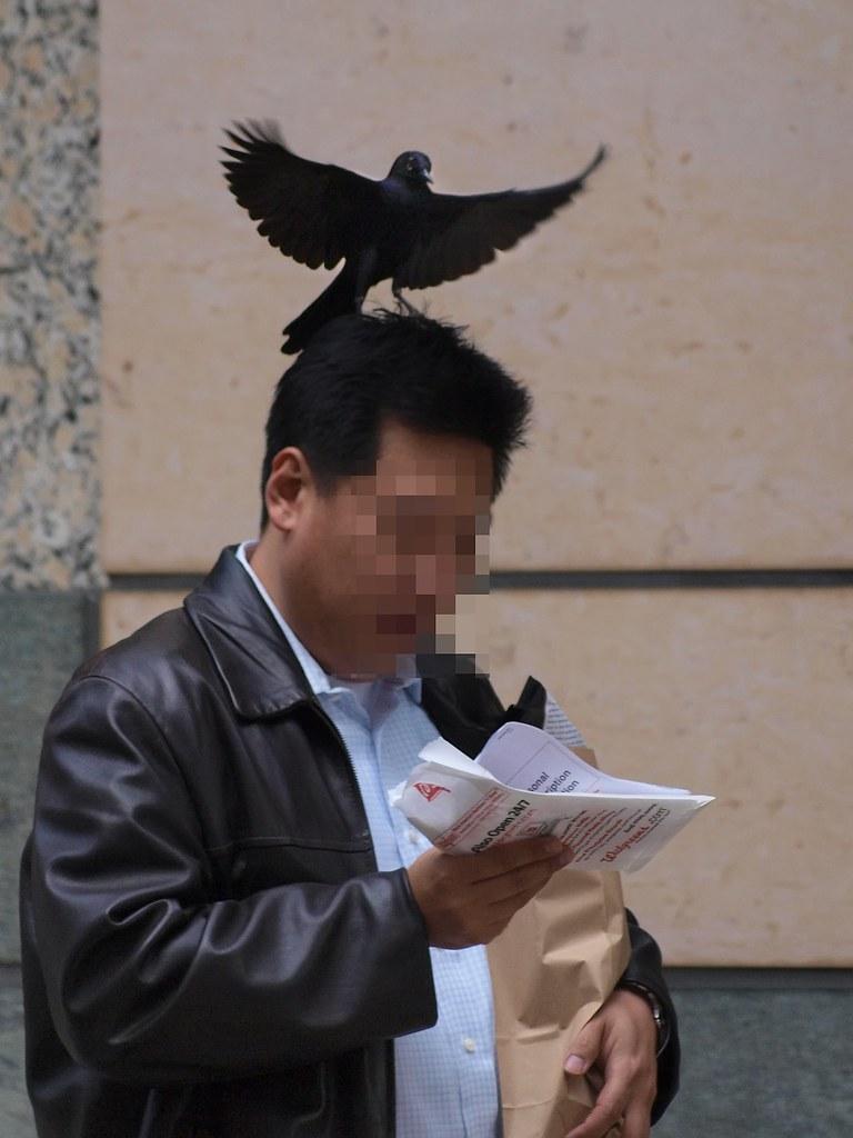 Divebombing Blackbird