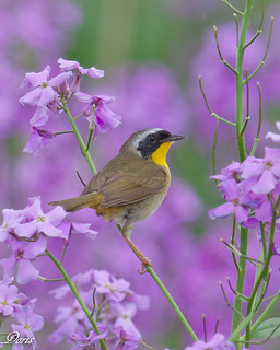 Common Yellowthroat | by claybuster1(doing good just very busy)