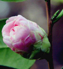 April  9  09 003-----------  Pink Bud | by bigbobby93535