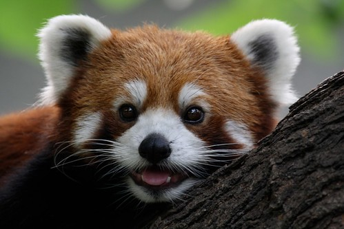 Red Panda | by ming1967