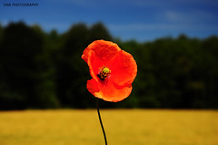 Red Poppy | by DerNetteAlex