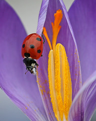 Ladybird on crocus | by nutmeg66