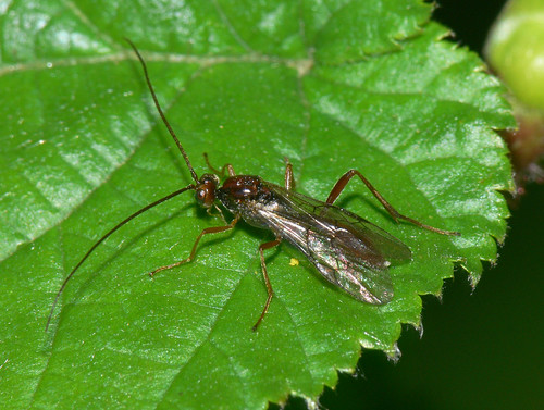 Ichneumon? | by bramblejungle