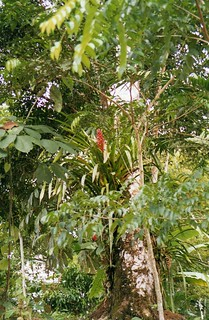 Bromeliads and other Epiphytes | by wallygrom