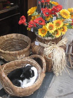 Cat in basket, Cortona | by goaheadtours