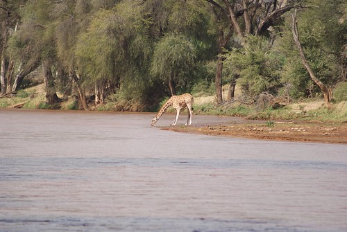 Giraffe At Ewaso Ng'iro River, Samburu National Park, Keny