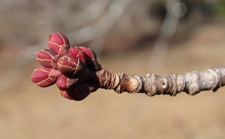 Unopened Maple flower buds, January | by Martin LaBar