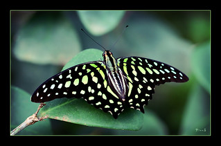 tailed jay (Graphium agamemnon) | by P i n u s