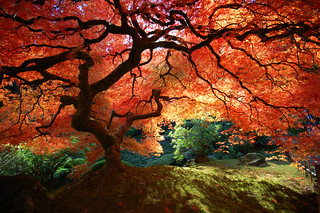 Beautiful Japanese Maple by Krissy Aldous.com | by KrissyAldous.com