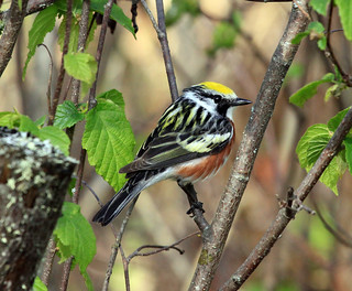 Chestnut-sided Warbler | by Laura Erickson