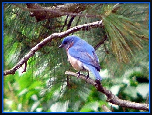 Blue Bird in the Pines | by chippewabear