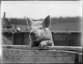 Pig | by Boston Public Library