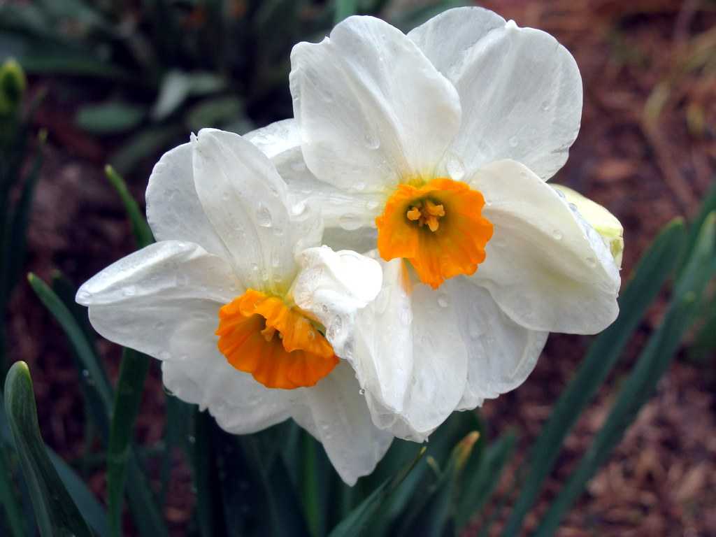 White And Orange Daffodil Taken By My Wife Everyone Else Flickr