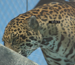 "iPhoto '09 face detection: ""Not a face"", Jaguar, Franklin Park Zoo, Boston MA 