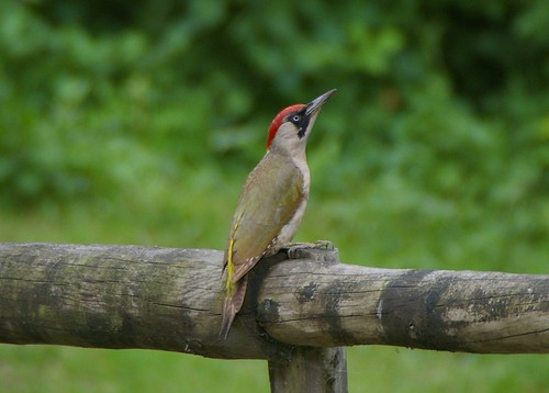 Green Woodpecker sat on our fence! | by w126uk / Duncan Joint