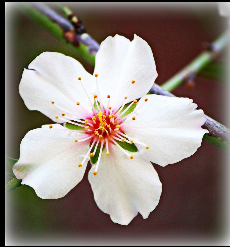 almond tree flower fryni hatzistamatioy flickr