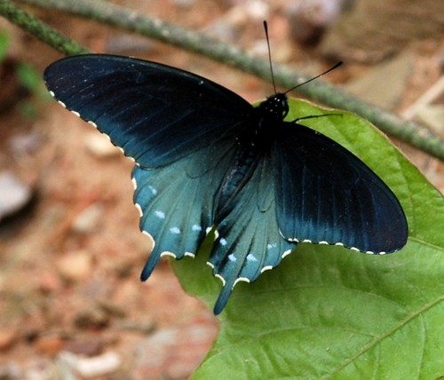 419e wondrous blues  Pipevine Swallowtail | by jjjj56cp