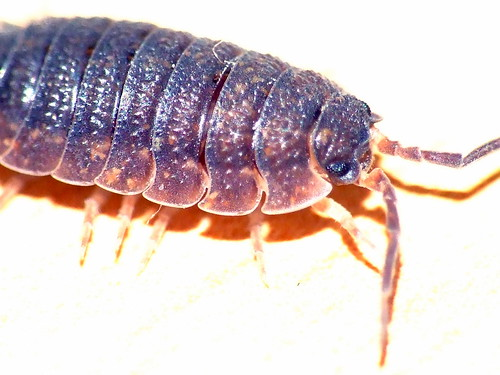 Kellerassel - rough woodlouse | by xmyrxn