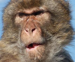 Gibraltar Monkey Gibraltar