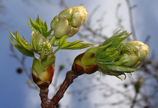 Sweetgum bud, opened, showing both new leaves and flowers | by Martin LaBar