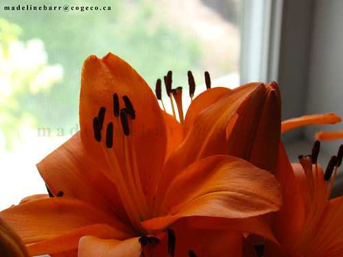 lilly1 | by MadelineB2009