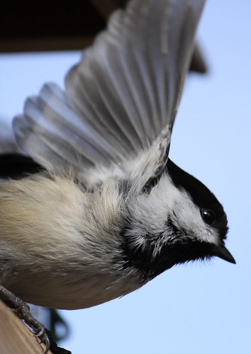 blackcapped chickadee | by aullori